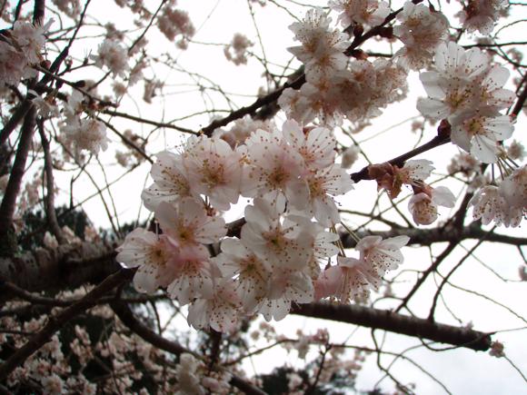 桜、満開!!